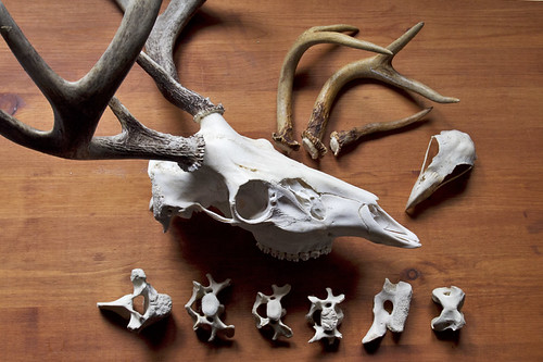 bones and antlers