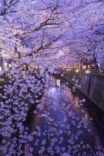 Sakura(via SilkyPix)