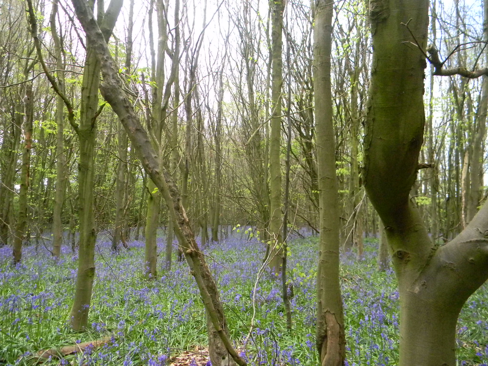 Bluebells Wendover Circular via Lee