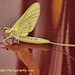 Unknown At the tractor show...[GOLDEN MAYFLY]