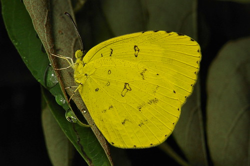 Common Grass Yellow (Eurema hecabe, Pieridae)