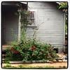 San Antonio Rose(s)