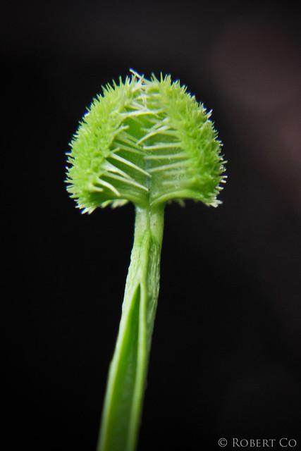 Dionaea muscipula 'Justina Davis' mutation