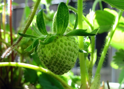 Alpine strawberry growing