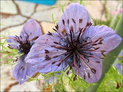 Nigella Hispanica flowers 2