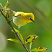 The white-eye