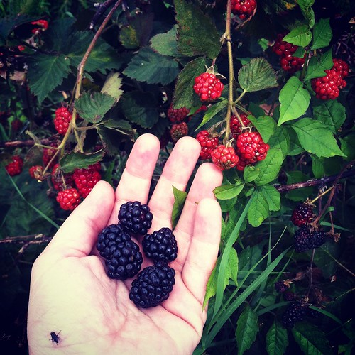 Blackberries, Jones Orchard, Millington, Tenn.