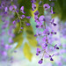 Wisteria Re-Visited by Anna Omiotek-Tott