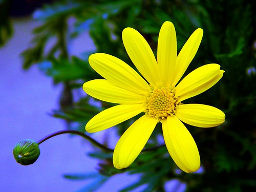 Yellow Daisy by careth@2012