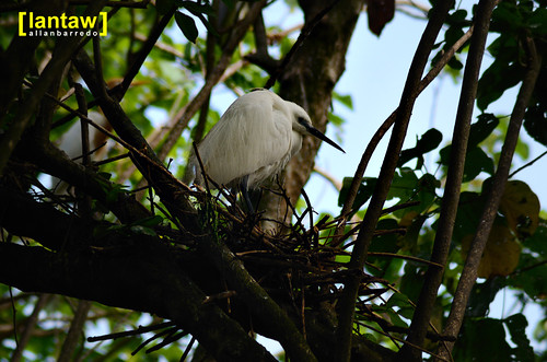 Nesting Little Egret