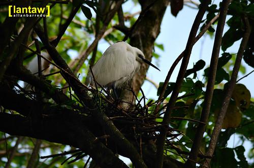 Nesting Lesser Egret