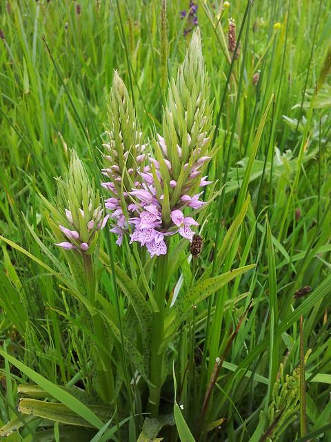 hybrid marsh orchids