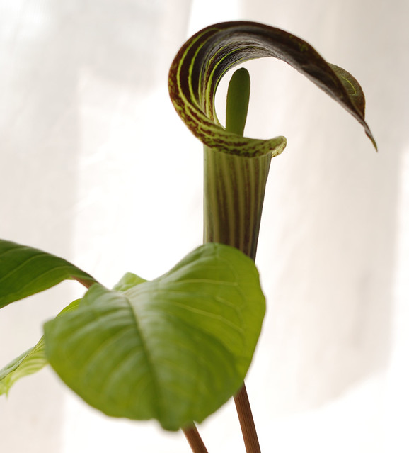 Jack in the Pulpit 4