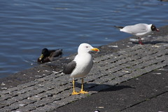 wildlife(0.0), animal(1.0), charadriiformes(1.0), fauna(1.0), great black-backed gull(1.0), european herring gull(1.0), beak(1.0), bird(1.0), seabird(1.0),