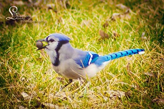 Bluebird in my backyard