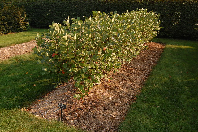 aronia prunifolia 39 viking 39 hedge morton explore jonathan flickr photo sharing. Black Bedroom Furniture Sets. Home Design Ideas