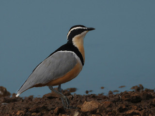 Egyptian Plover // Ave-do-crocodilo