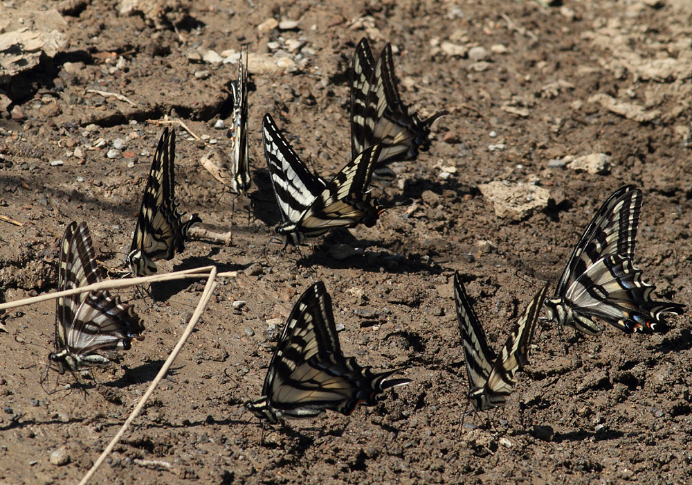 Western Tiger Swallowtails, Papilio rutulus