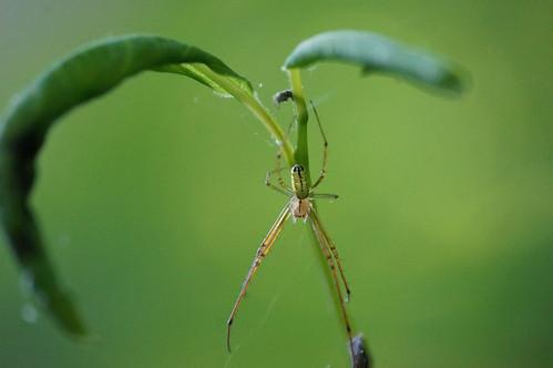 spiders wildlife arthropods orchardorbweaver spidersandinsects