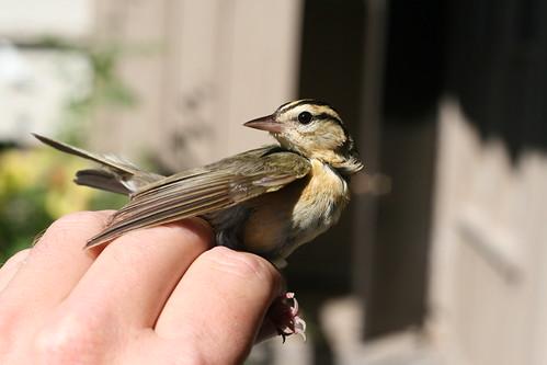 Worm-eating Warbler!