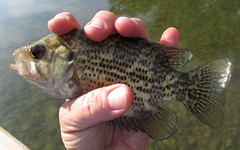 tilapia, animal, bass, fish, fish, marine biology, fauna,