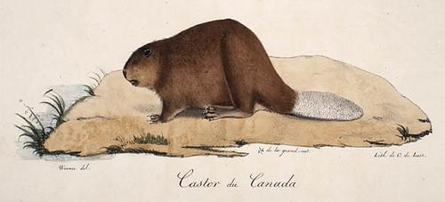 Canadian Beaver / Castor du Canada