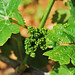 inflorescence - future vine flower