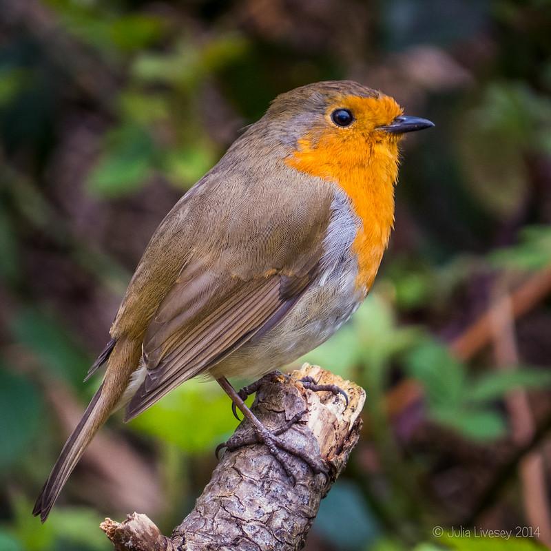 Robin on Upton Heath