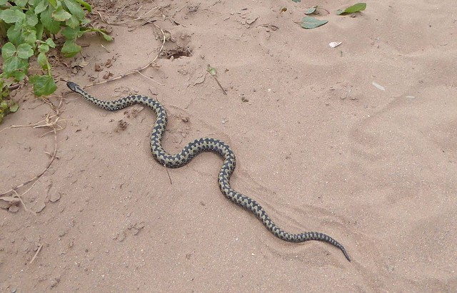 Adder at Bantham 2