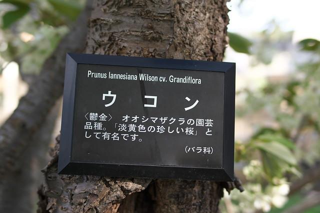 20160514西野緑道の桜_04