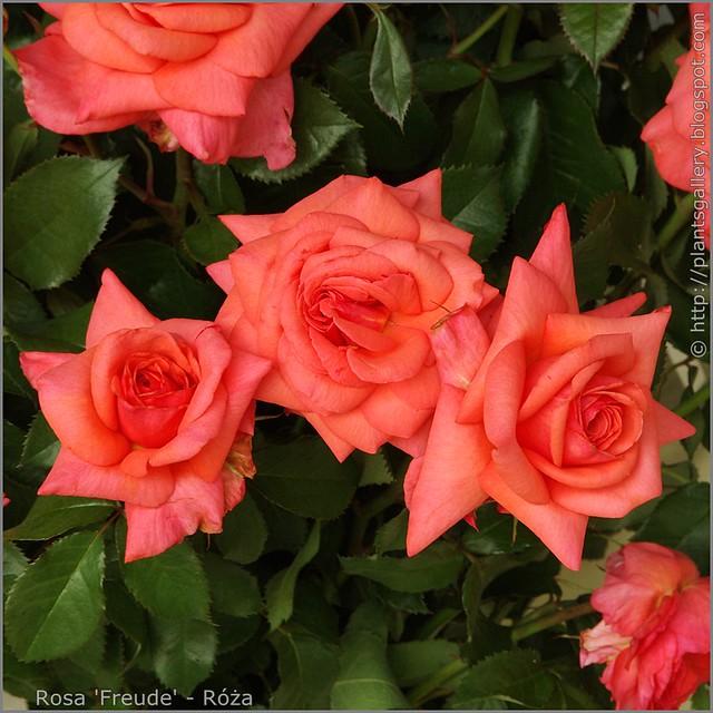 Rosa 'Freude' - Róża 'Freude'