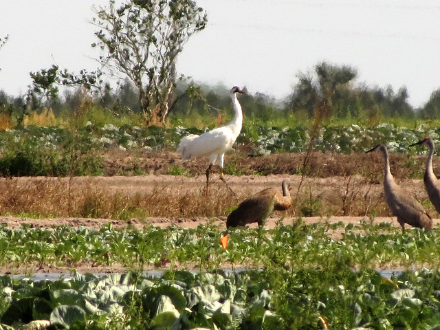 Whooping Crane with Sandhill Cranes