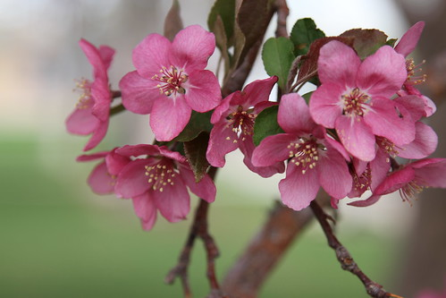 6256 crabapple blossoms