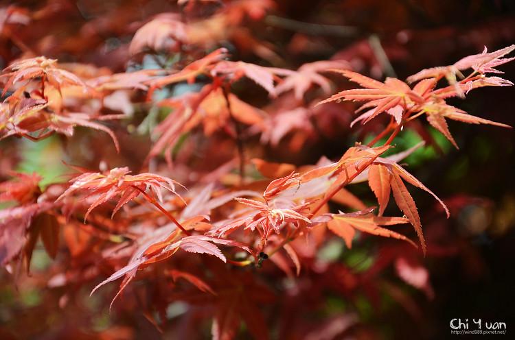 竹子湖紅楓18.jpg