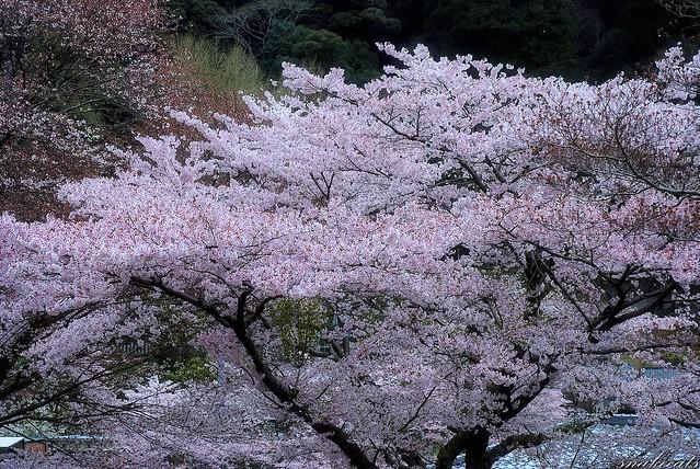 桜  長谷寺 - 奈良