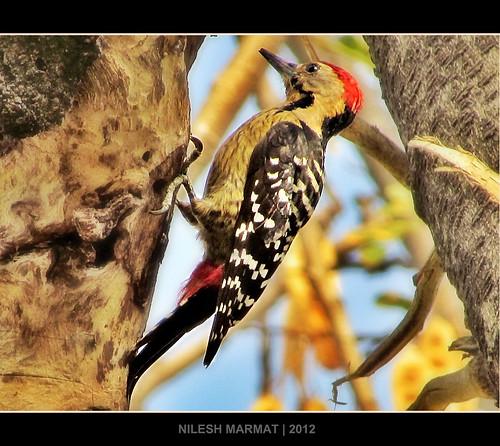 canon woodpecker ngc flickraward fulvousbreastedwoodpecker dendrocoposmacei canonsx30is