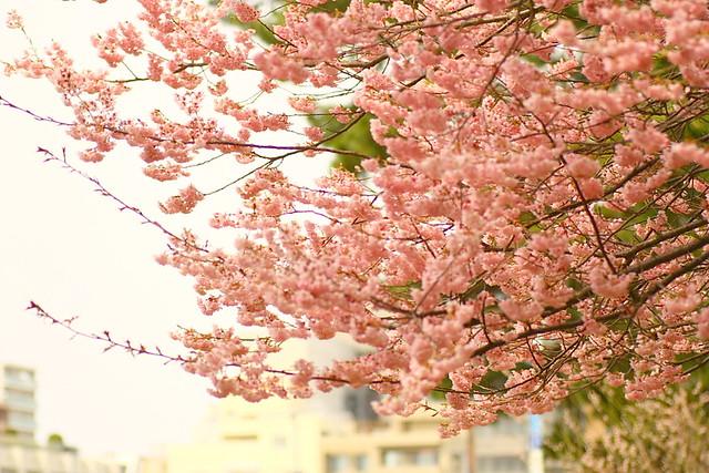 Sakura 2012-3