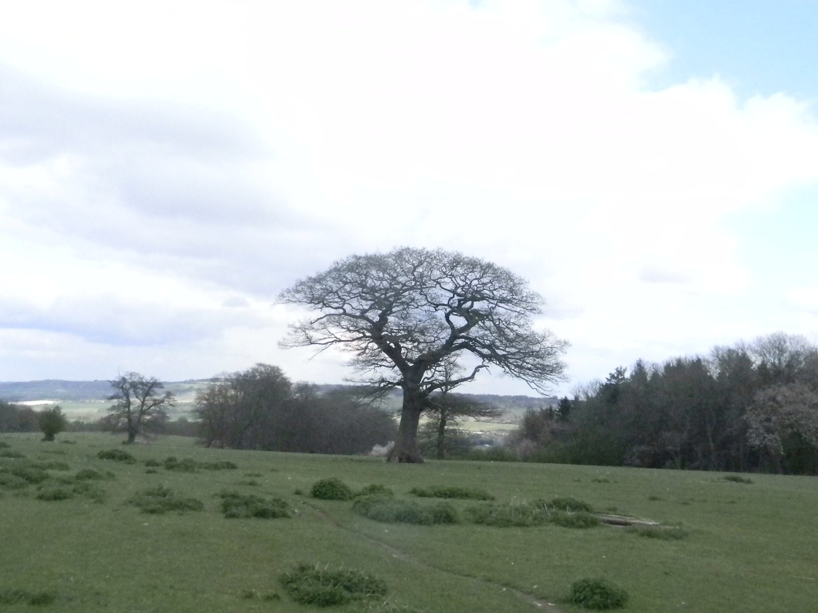 Dome shaped tree Tring to Berkhamsted
