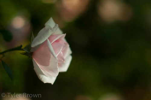 Day 115 - Just another Rose, but this one is mine