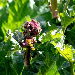 rhubarbe en fleur / rhubarb flower - Photo of Grand-Rullecourt