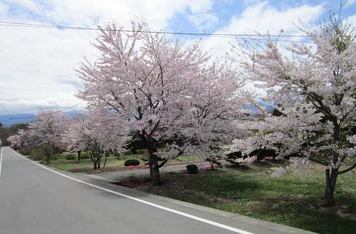 小淵沢の桜 by Poran111