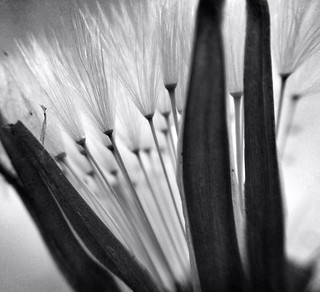 Fairy darts or upturned dandelion brooms macro black and white