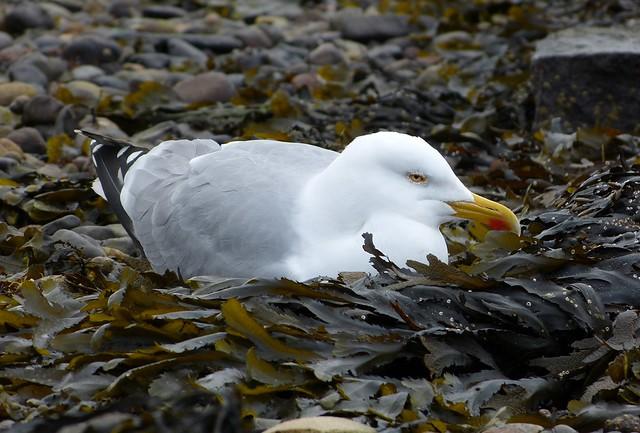 26941 - Herring Gull, Oban