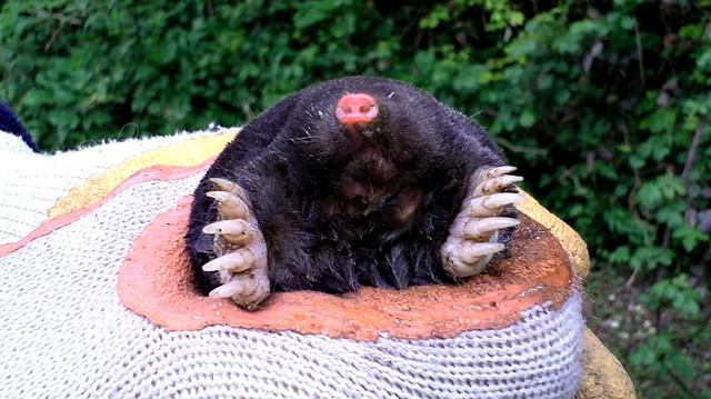 French Mole