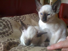 animal, kitten, siamese, small to medium-sized cats, pet, oriental shorthair, javanese, ragdoll, thai, tonkinese, cat, burmese, carnivoran, whiskers, balinese, domestic short-haired cat,