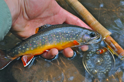 Trip report maryland 39 s stunning savage river orvis news for Trout fishing maryland
