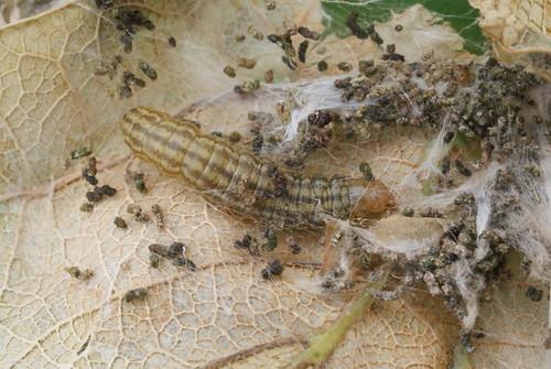 Acrobasis consociella larva