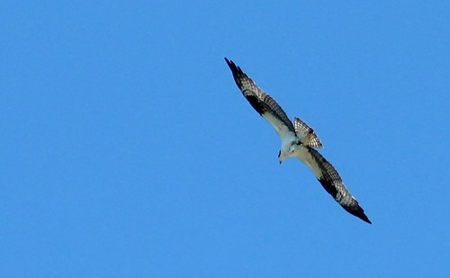 Osprey at Shippingport Island