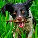 Mollie the English Springer Spaniel by TrevKerr