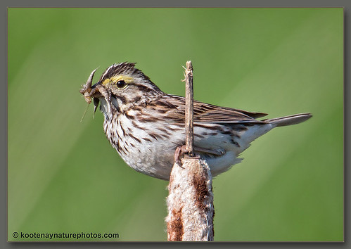 birds bc sparrow savannahsparrow westcreston